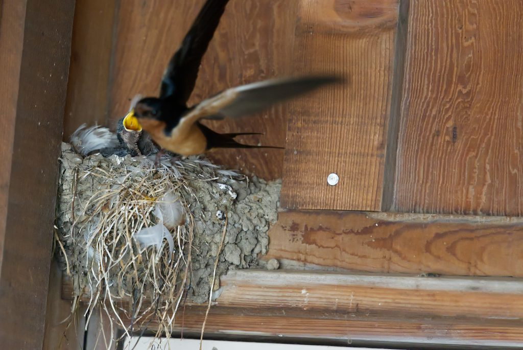 Parent barn swallow leaving nest containing nestlings