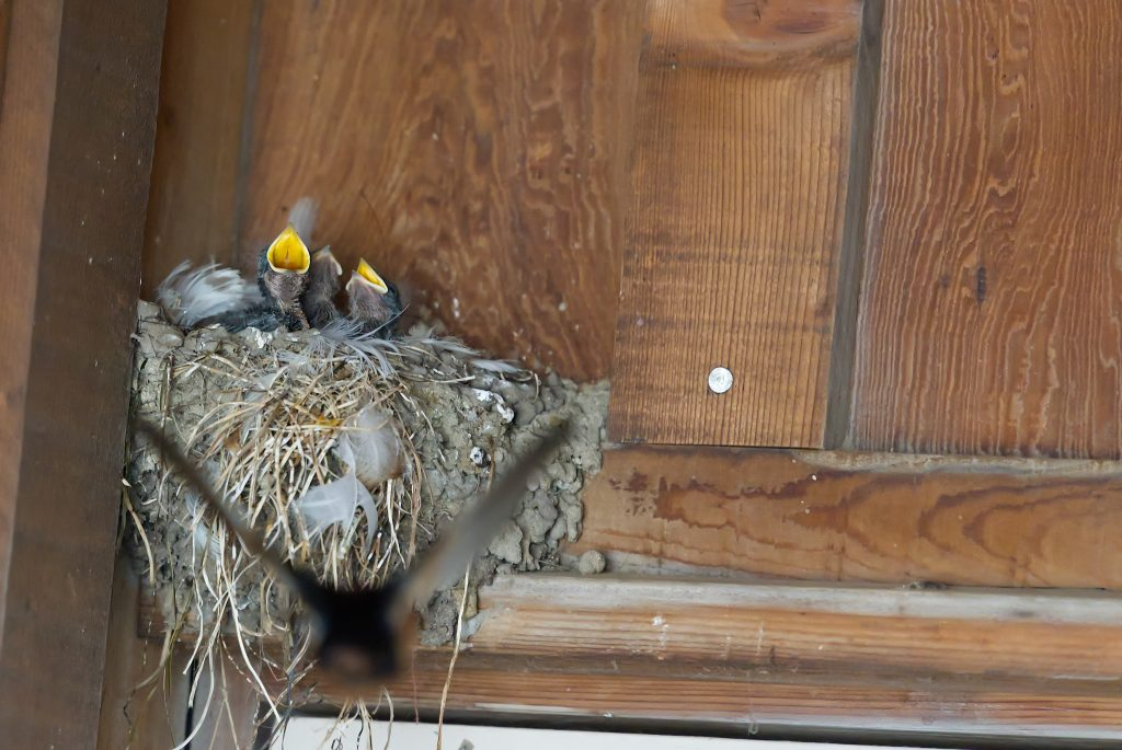 Three nestling barn swallows showing yellow gapes