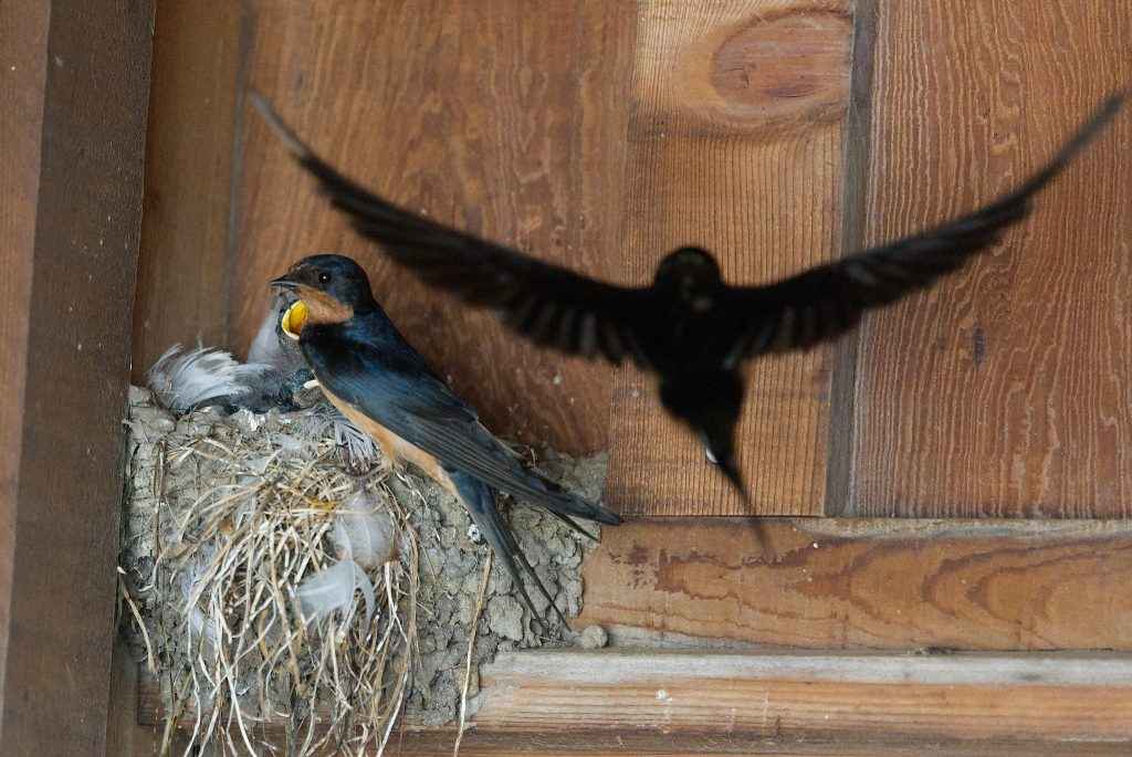 Parent barn swallows return to the nest