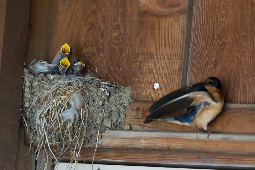 Three nestling barn swallows and one parent