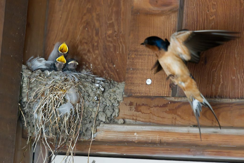 Three nestling barn swallows, and second parent flying towards nest