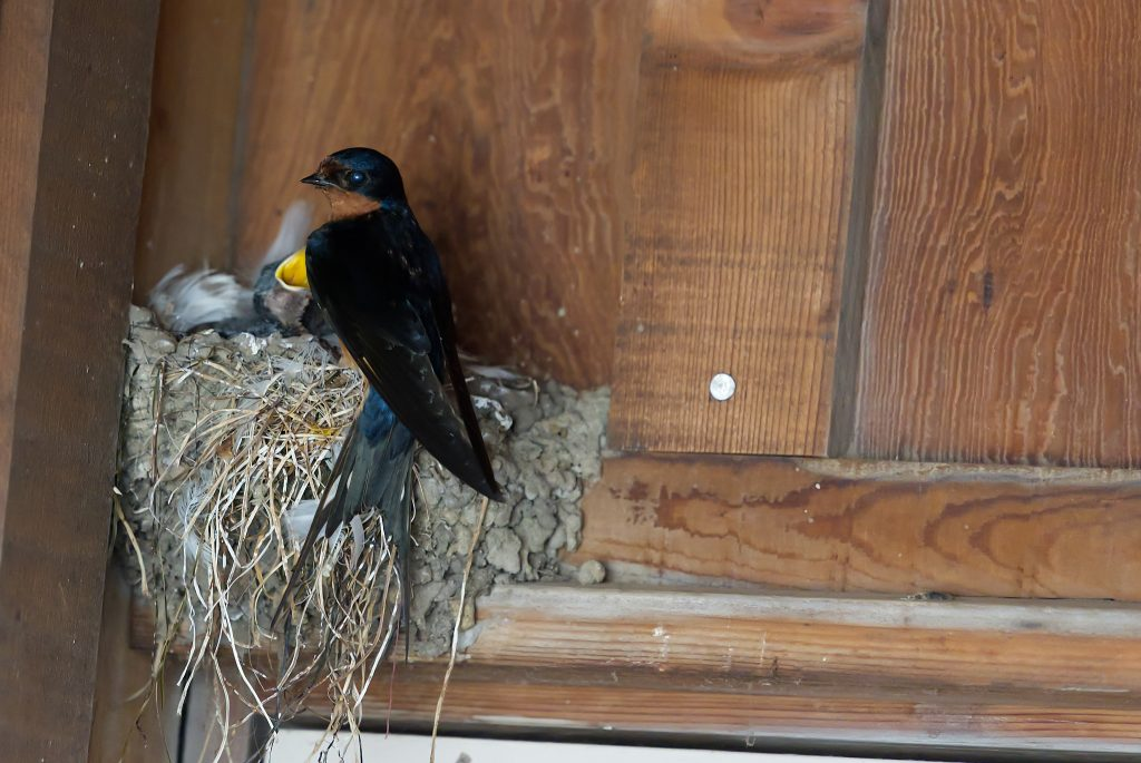Parent barn swallow on nest containing nestlings
