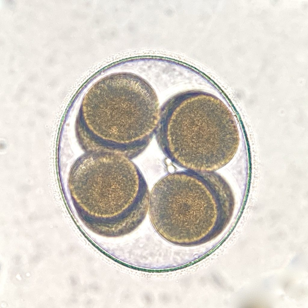 8-cell embryo of Patiria miniata