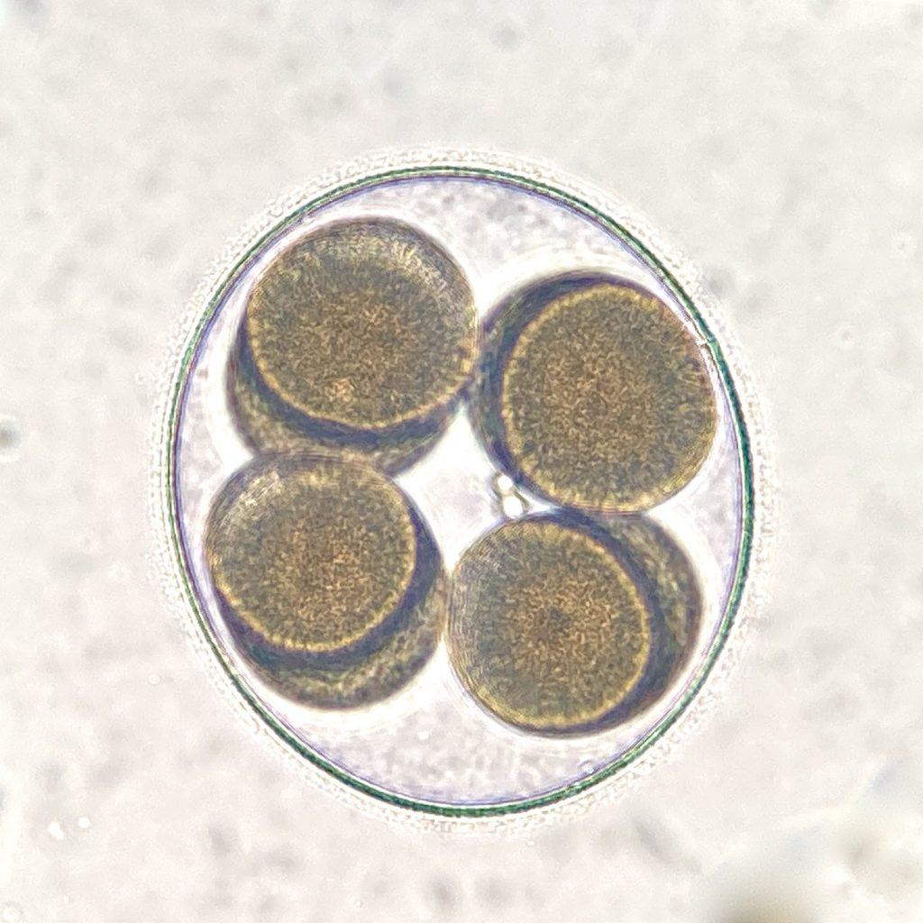 8-cell embryo of Patiria miniata