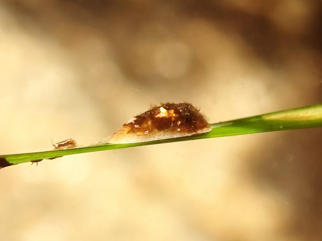 Lateral view of surfgrass limpet on leaf of surfgrass