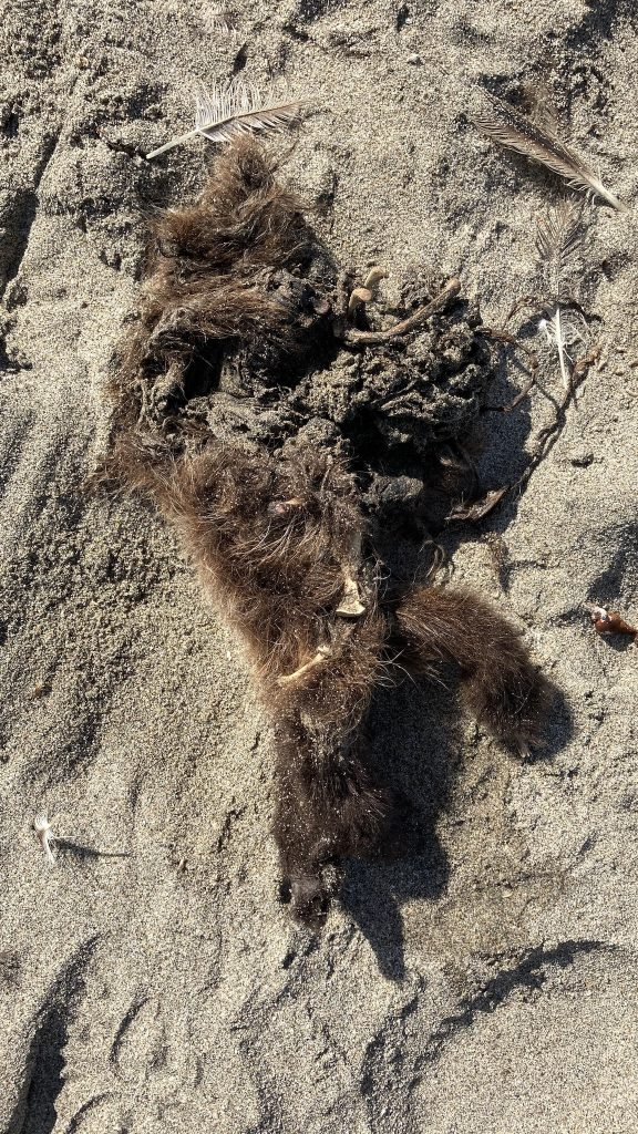 Dead sea otter pup on the beach