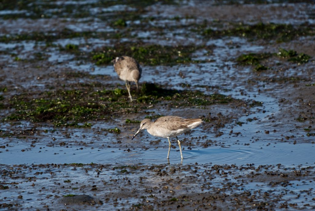 Willets in marsh at low tide