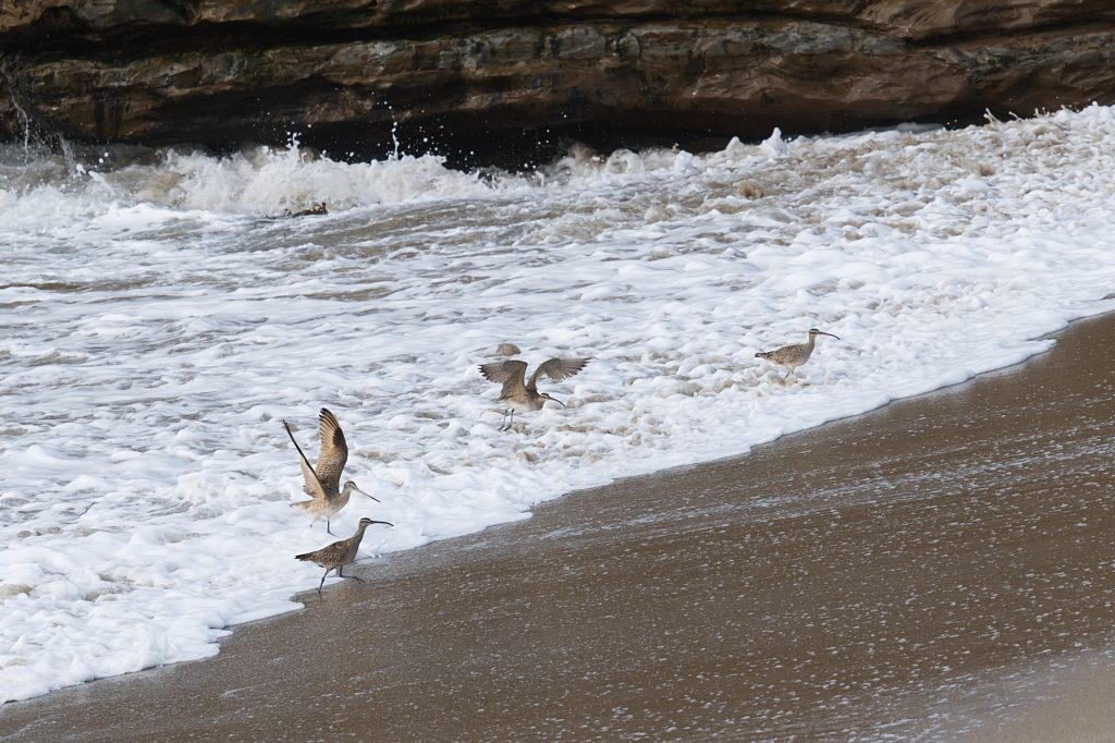 Whimbrels and marbled godwits in the surf zone at Younger Lagoon