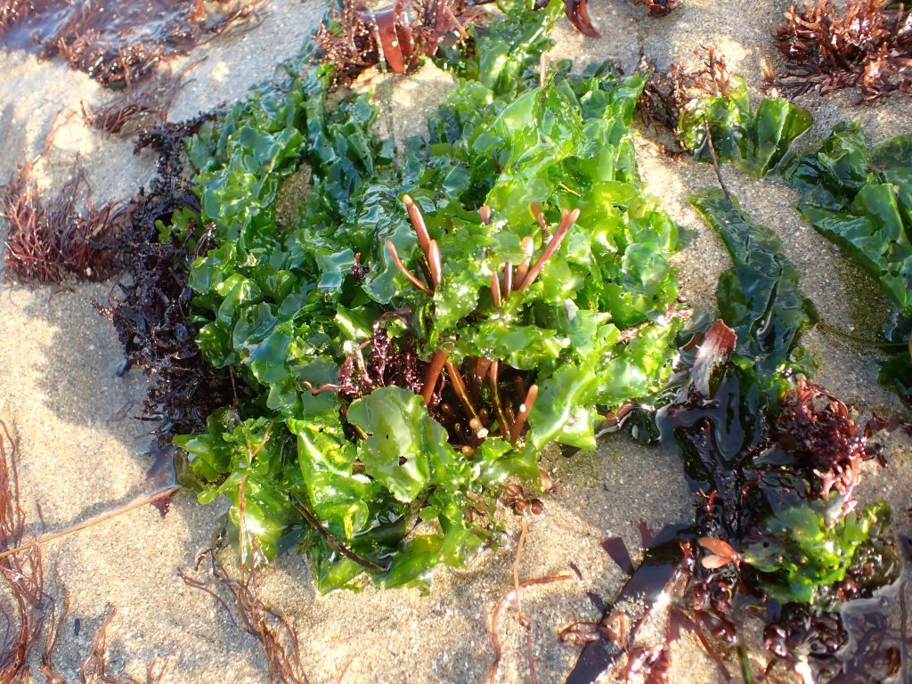 Bright green sea lettuce growing with red algae