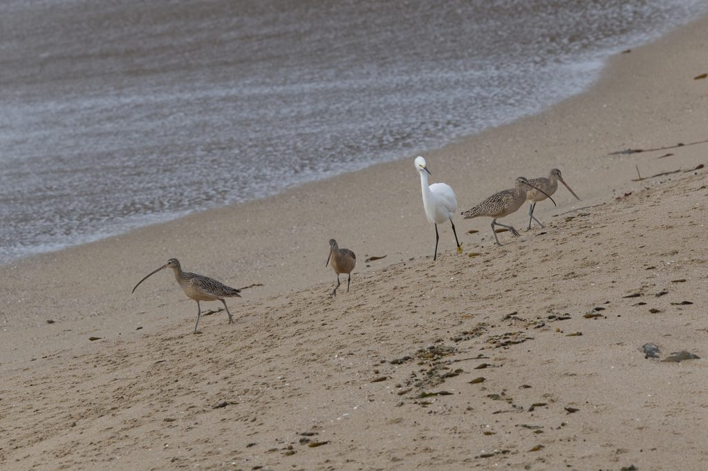 Long-billed curlews, snowy egret, and marbled godwit on the beach at Younger Lagoon