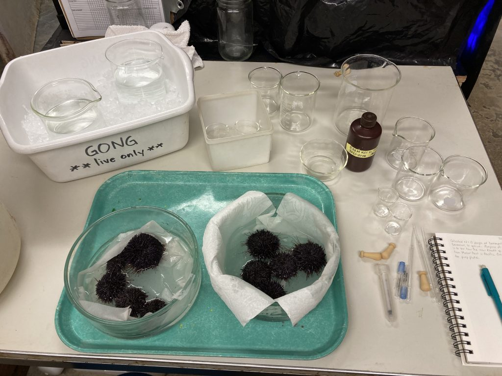 Equipment and glassware used to spawn sea urchins