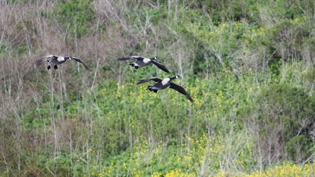 Three Canada geese in flight