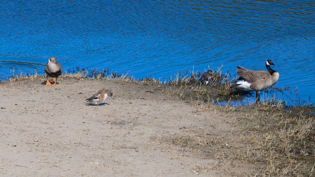 Greater white-fronted goose, American wigeon, and Canada goose