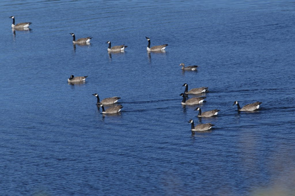 Gaggle of 12 Canada geese and one greater white-fronted goose swimming in Younger Lagoon