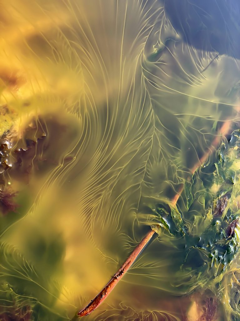 Yellow streams of algal spawn in a shallow tidepool