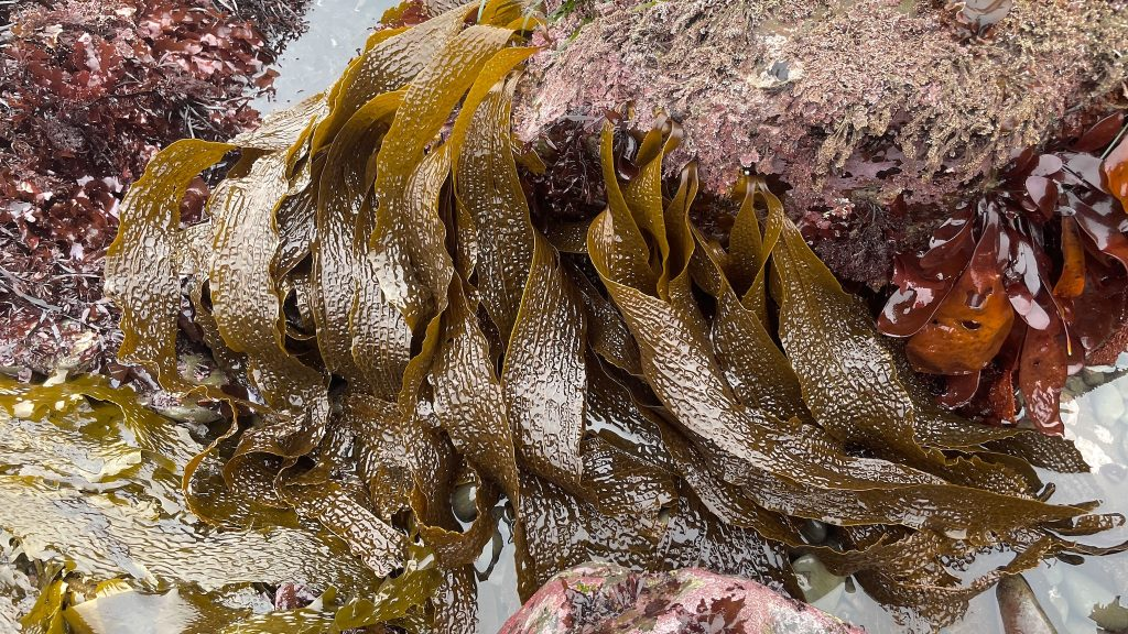 Blades of a brown seaweed with a waffle-like texture