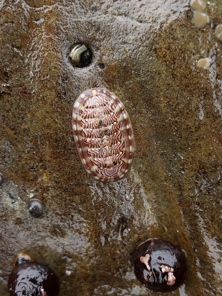 Chiton with dark wavy lines on the shell plates and alternating pink and beige patches on the girdle