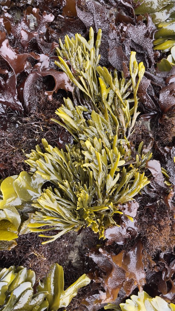 Olive-green seaweed with narrow dichotomous branches