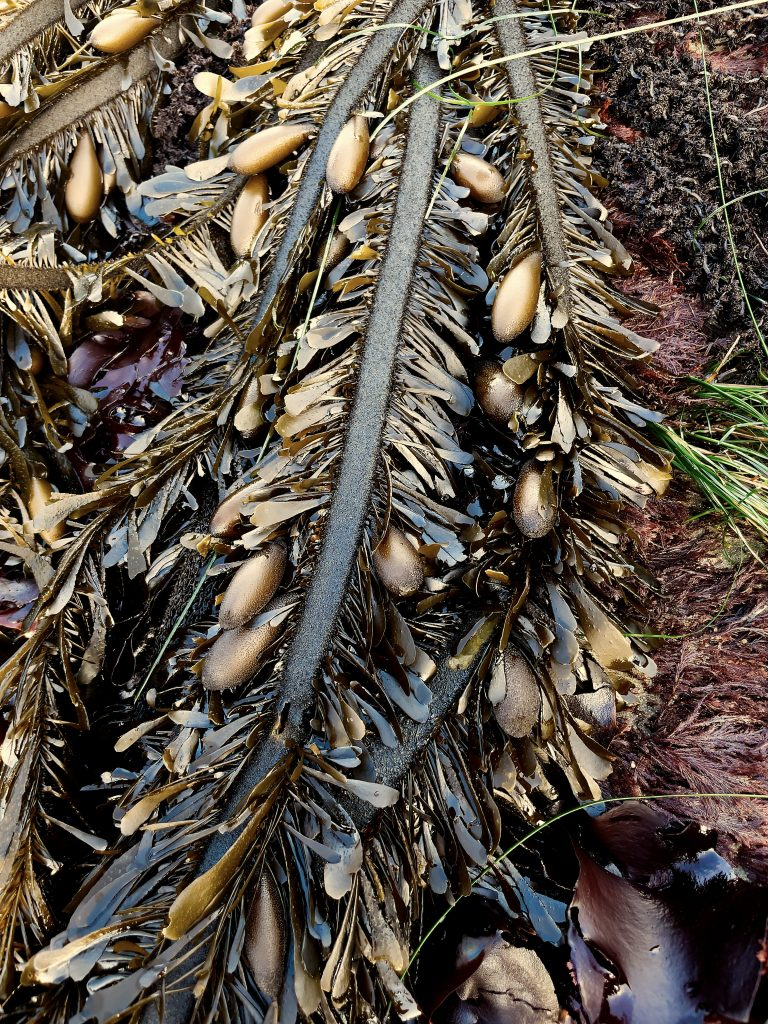 Fronds of feather boa kelp