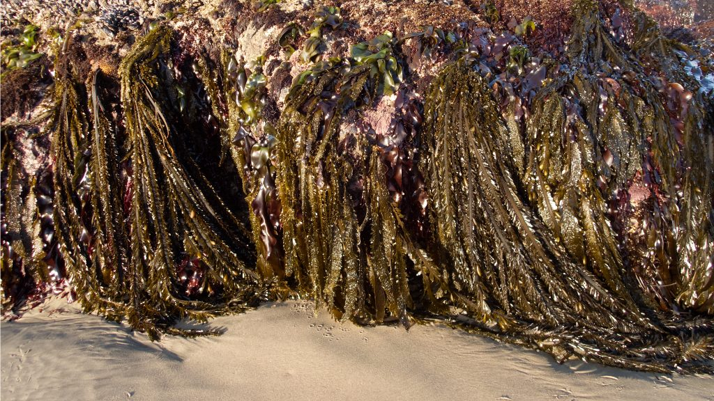 Large stand of feather boa kelp hanging down from rocks in the mid-tidal zone