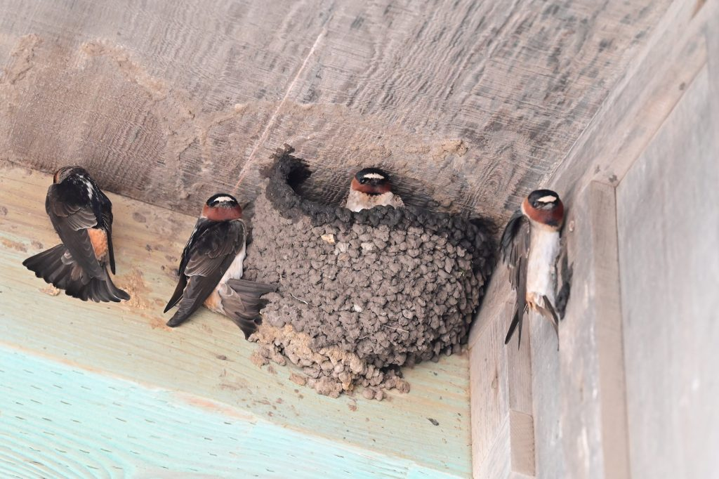 Four cliff swallows building mud nests on wooden walls