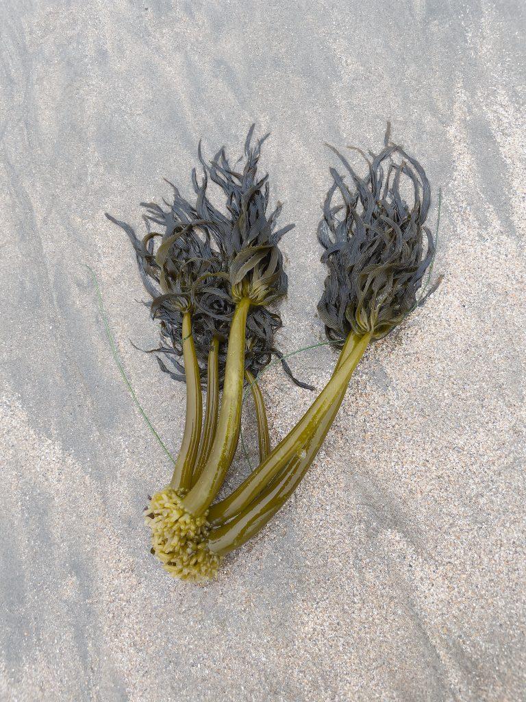 Group of 6 sea palms on the beach