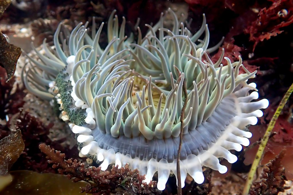 Pale green sea anemone with slender feeding tentacles surrounding the oral disc. Below the ring of feeding tentacles there is a ring of thick club-shaped tentacles used for fighting.