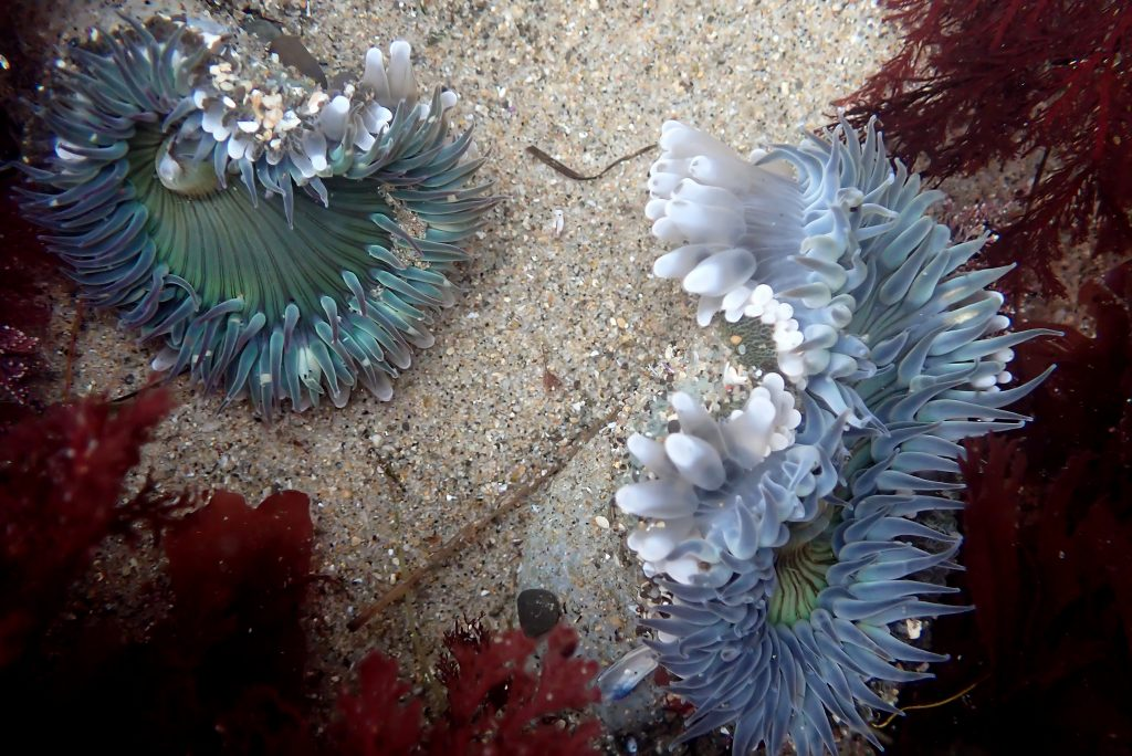 Two pale green sea anemones with slender feeding tentacles surrounding the oral disc.The anemone on the right has inflated fighting tentacles. The animal on the left has fewer inflated fighting tentacles.