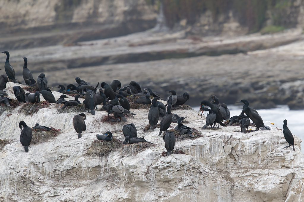 Group of ~40 large black marine birds on a rock. ~12 nests of mounded algae, with a single bird lying on it. Other birds standing on rock, preening or presenting algae to their mate. Some birds show blue throats of breeding plumage.