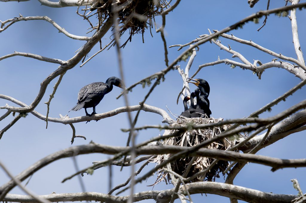 Family of large black seabirds in a eucalyptus tree. The nest contains three chicks and one parent. The other parent is perched on a nearby branch.