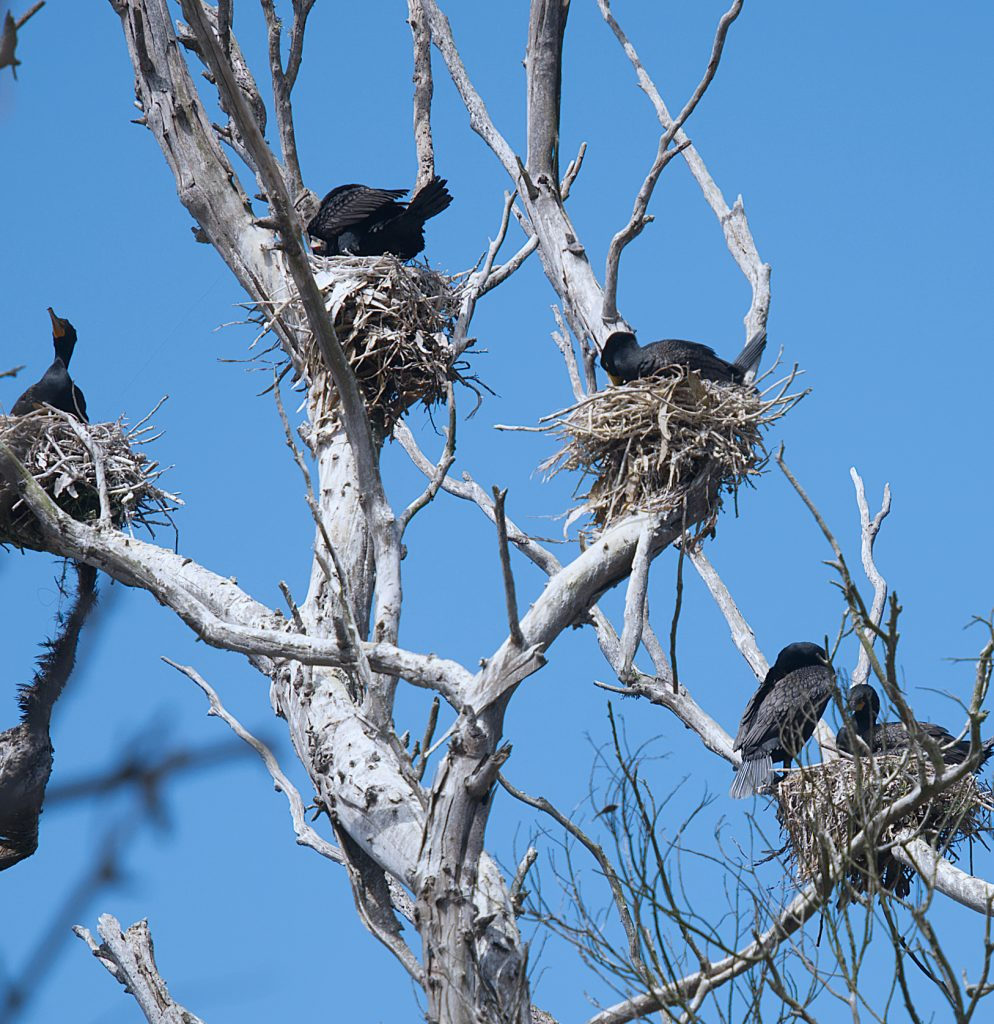 Four nests in a dead eucalyptus tree. There is one adult black cormorant in each nest.