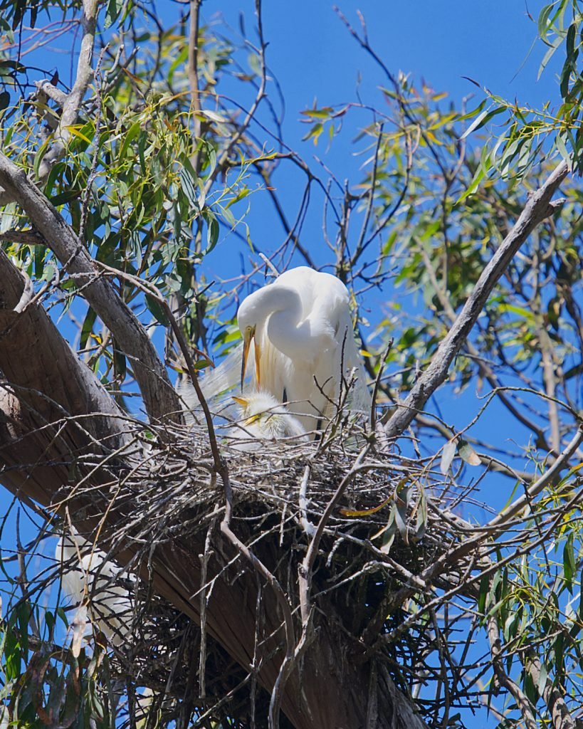 Large white bird with two white chicks in a nest in a eucalyptus tree