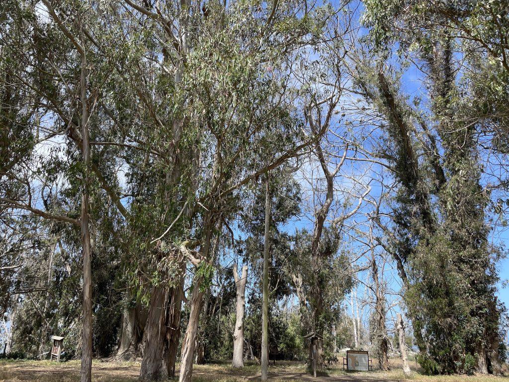 Grove of eucalyptus trees